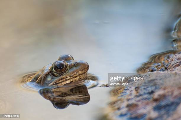 Chircahua Leopard Frog