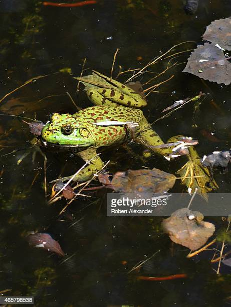 Chiricahua leopard frog floats in a pond near Santa Fe New Mexico The endangered frog is threatened by habitat loss and has disappeared from 80...