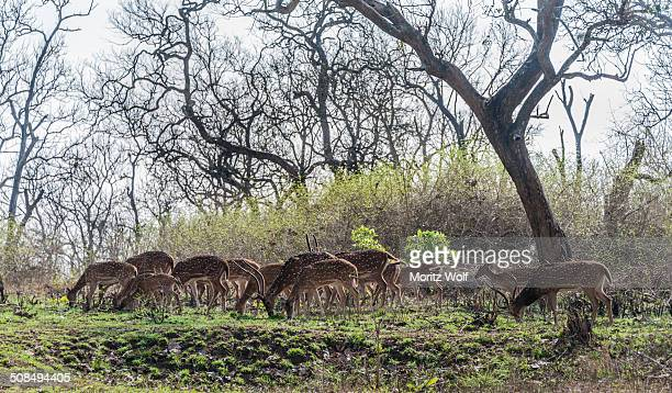 chital -axis axis-, tamil nadu, india - animal digestive system stock photos and pictures