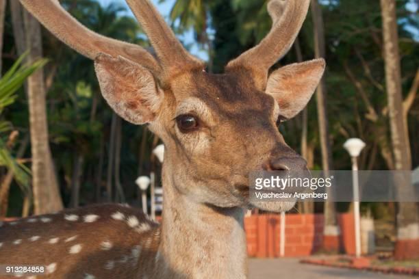 chital (cheetal), spotted deer or axis deer, ross island, india - argenberg imagens e fotografias de stock