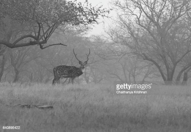 Chital stag looks up from grazing on the grass
