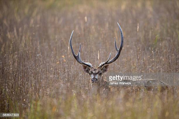 chital/spotted deer buck in meadow at dusk - bandhavgarh national park stock pictures, royalty-free photos & images