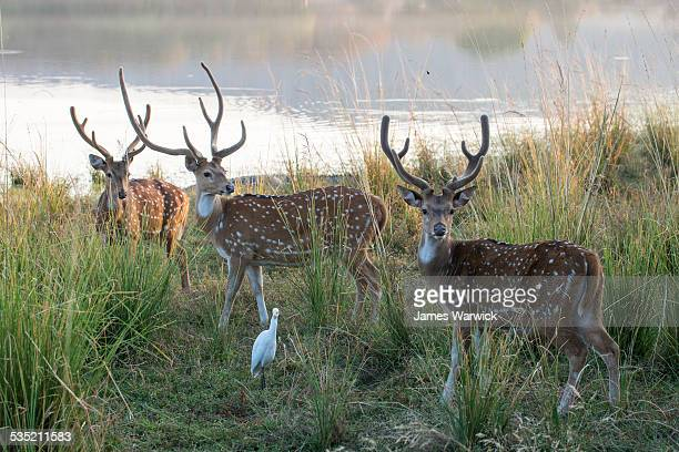 chital/spotted deer bucks by lake rajbagh - ranthambore national park stock pictures, royalty-free photos & images
