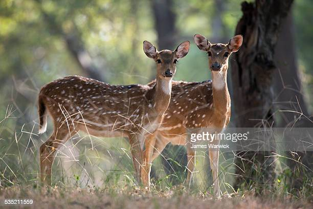 chital/spotted deer on alert - ranthambore national park stock pictures, royalty-free photos & images