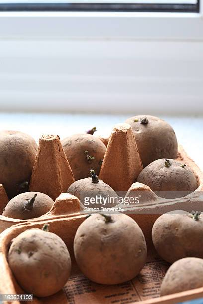 Chitting potatoes on window sill