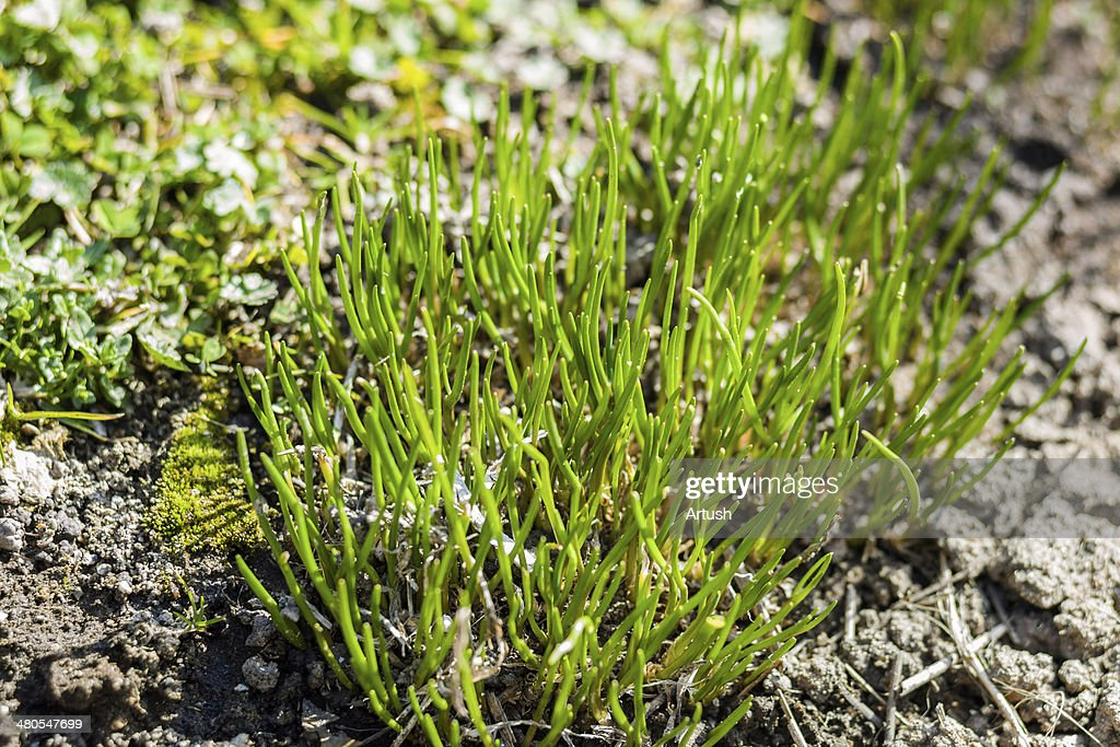 Chive herb flowers on spring garden : Stock Photo