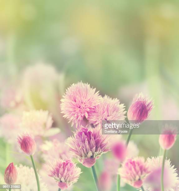 chives blossom - svetlana stock photos and pictures