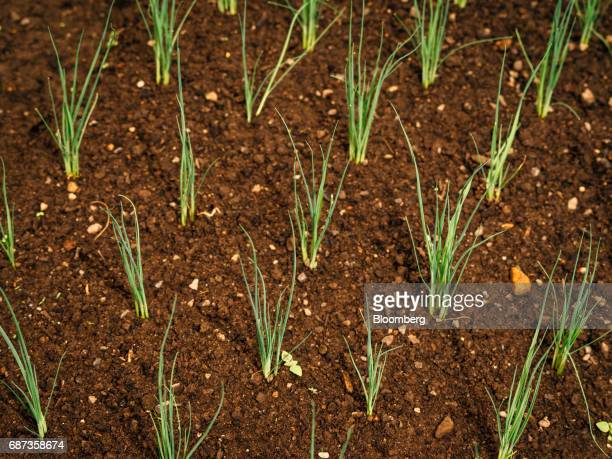 Chives grow inside the greenhouse at the Stone Barns farm in Pocantico Hills New York US on Friday April 21 2017 As customers are increasingly...