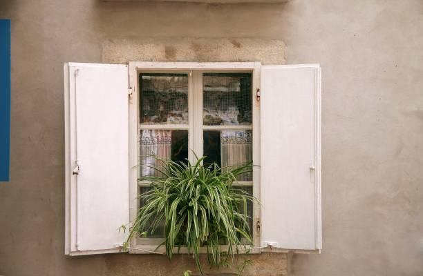 "Chlorophytum comosum ""Variegatum"" on window."