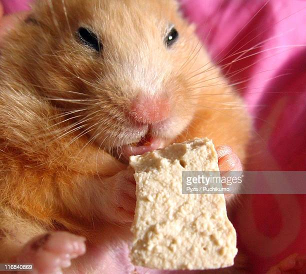 Chmurka, Syrian hamster