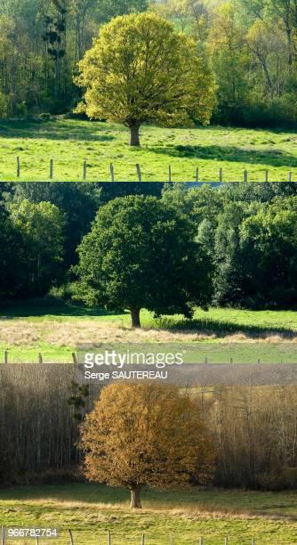 Chêne au printemps en été et en automne Paysage aux environs de Pourrain
