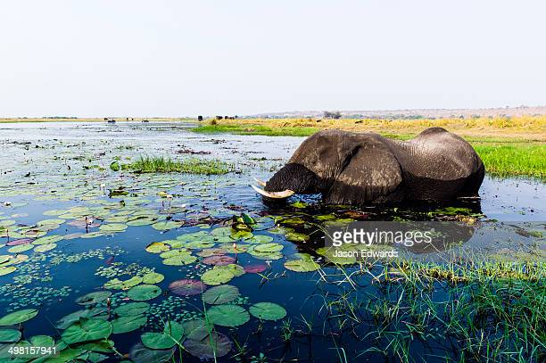 An African Elephant feeding on water plants in a flooded wetland.