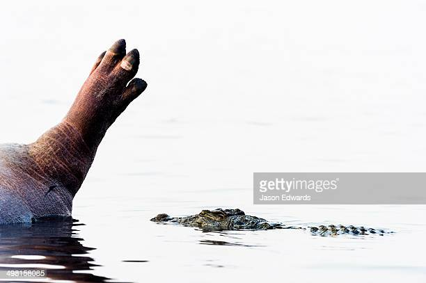 A Nile Crocodile circles the decaying corpse of a Nile Hippopotamus.