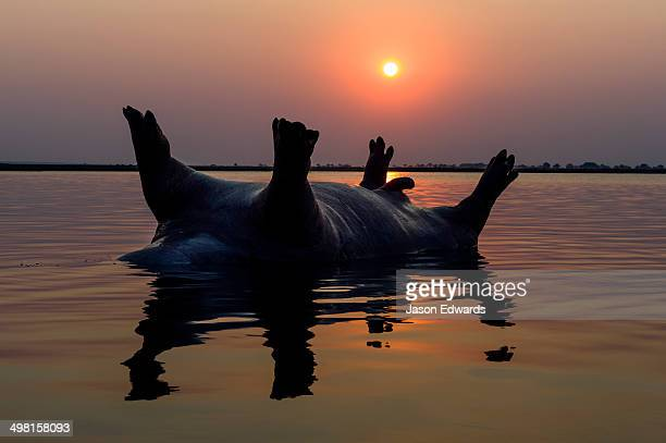 A dead and bloated Nile Hippopotamus floating in a wetland at sunset.