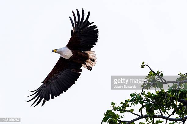 An African Fish Eagle spreads its wings as it launches into flight.