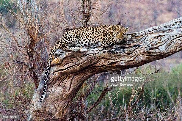 A Leopard sleeping on a dead tree stag as the heat of the day wanes.