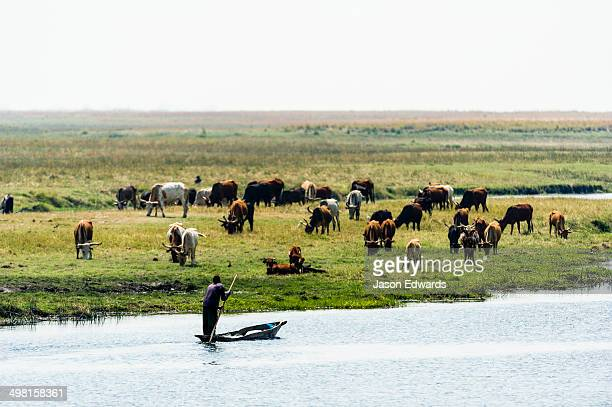 Farmers illegally grazing domestic cattle in a national park wetland.