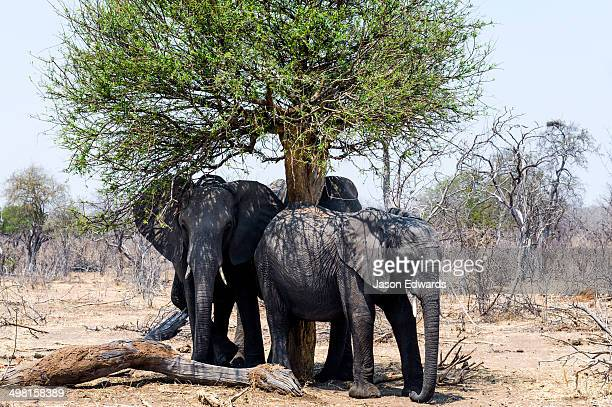 African Elephants shelter from the scorching sun under a trees shade.