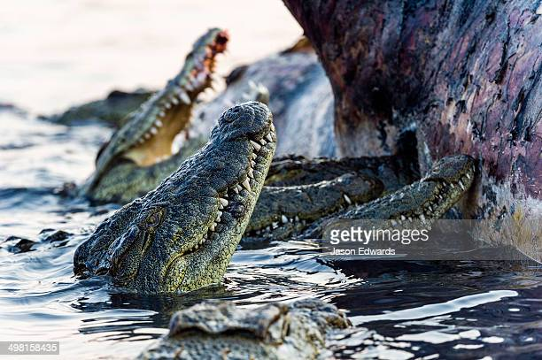 nile crocodiles feast on the decaying corpse of a nile hippopotamus. - rotten teeth stock photos and pictures
