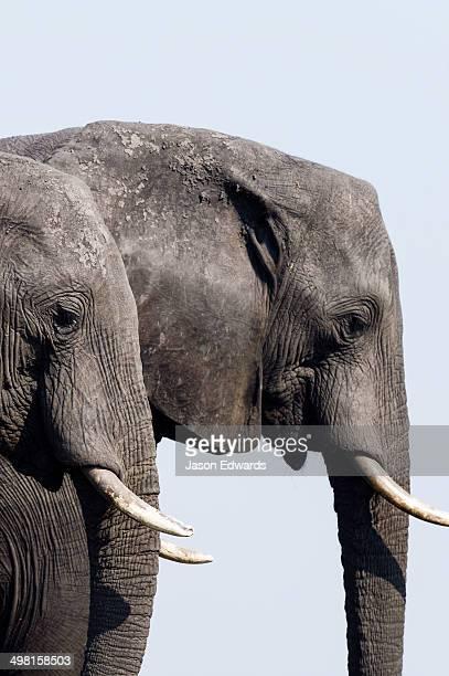 A pair of African Elephants migrate across a dry season floodplain.