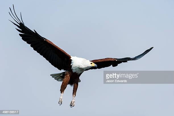An African Fish Eagle spreads its wings in flight above a wetland.