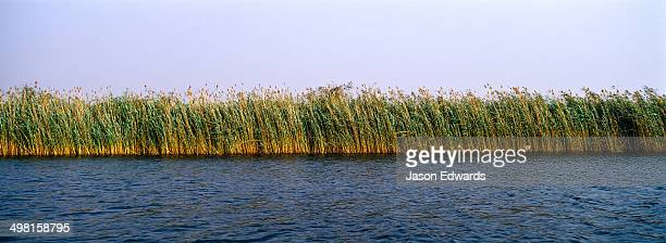 A dense wall of impenetrable reeds lines the shoreline of a wide river.