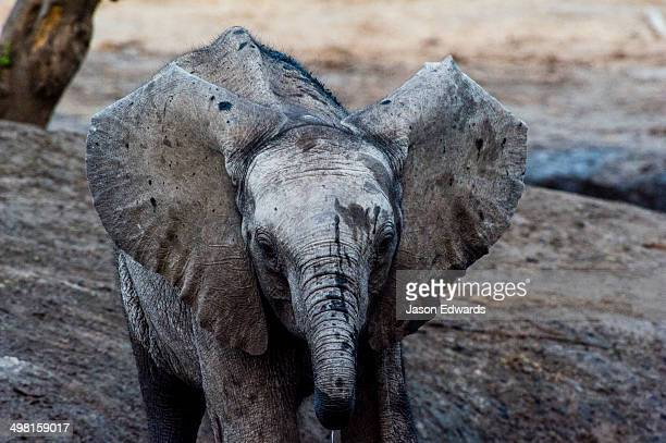An African Elephant calf flaps it's ears whilst drinking at a waterhole.