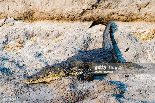 A Nile Crocodile sun basking on the muddy bank of a river at sunset.