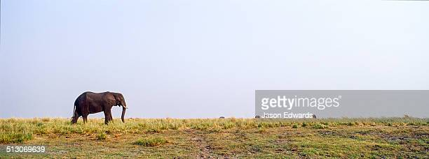 An African Elephant grazing on grasses on a dry season wetland island.