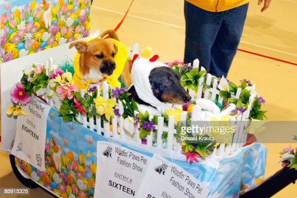 ChoCho dressed as a bay chick and Trevor dressed as a chicken in their Garden Float attends the Woof N Paws Fashion Show Parade on April 11 2009 in...