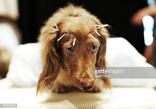 Chocolate a miniature dachshund receives acupuncture therapy to help with lumbar disk herniation at the Marina Street Okada animal hospital on April...