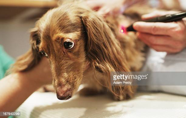 Chocolate a miniature dachshund receives laser acupuncture therapy to help with lumbar disk herniation at the Marina Street Okada animal hospital on...