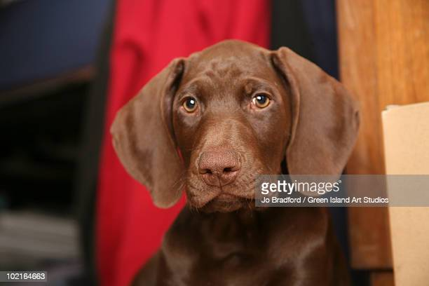 chocolate bean - german shorthaired pointer stock pictures, royalty-free photos & images