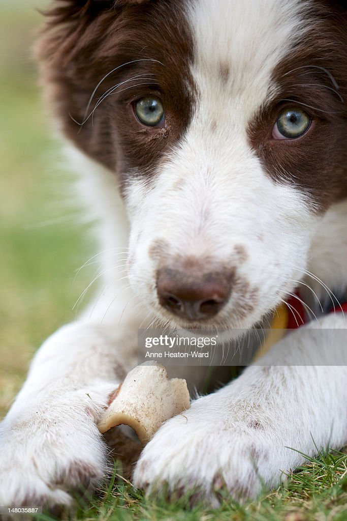 Chocolate Border Collie Puppy High Res Stock Photo Getty Images