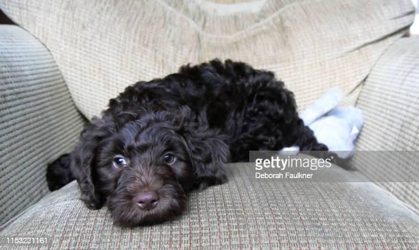 chocolate cockapoo laying puppy on armchair - cockapoo bildbanksfoton och bilder