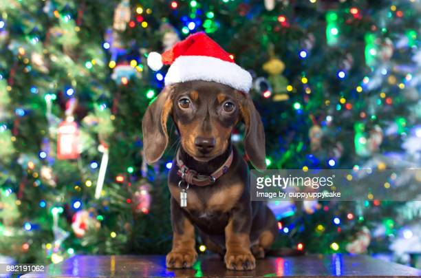 chocolate dachshund puppy christmas card - dachshund holiday stock pictures, royalty-free photos & images