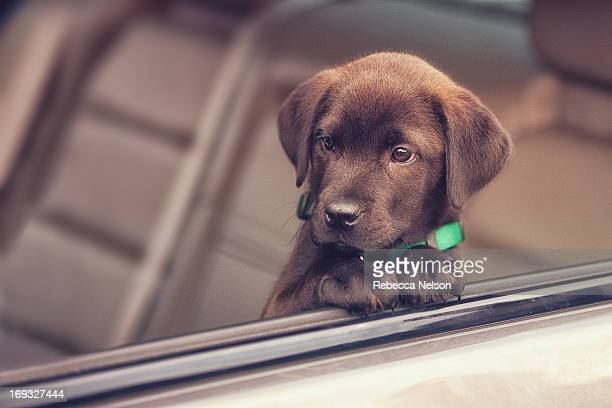 chocolate lab puppy looking out of car window