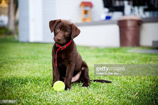 chocolate lab puppy - chocolate labrador stock pictures, royalty-free photos & images