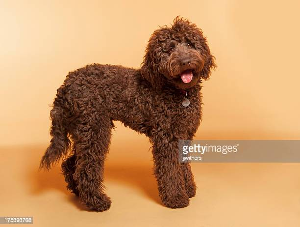 chocolate labradoodle photographed in studio - labradoodle stock photos and pictures