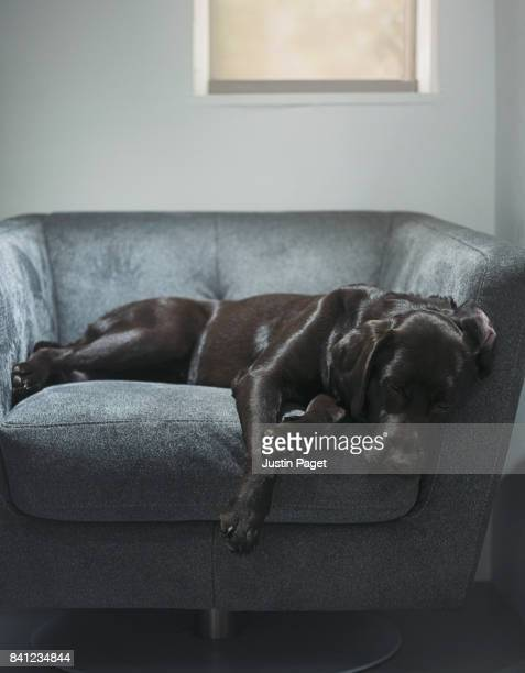 Chocolate Labrador Asleep on Armchair