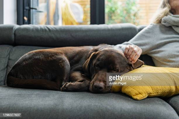 chocolate labrador asleep on the sofa whilst her owner strokes her ear - grey colour stock pictures, royalty-free photos & images