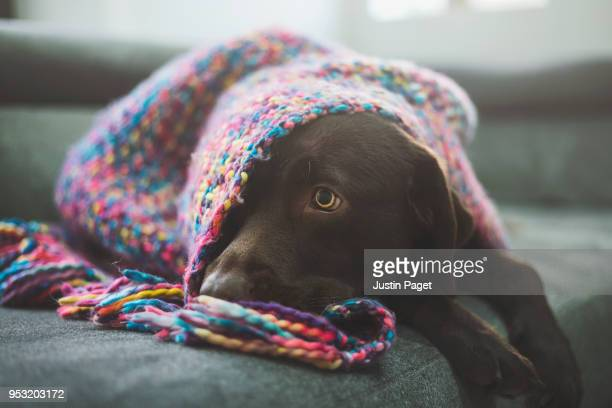 Chocolate Labrador covered by blanket
