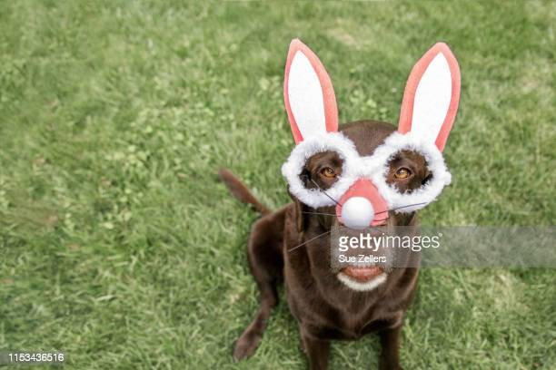 chocolate labrador dog bunny - dog easter stock pictures, royalty-free photos & images