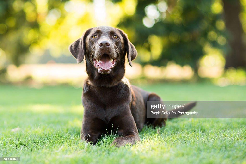 Chocolate Labrador Dog Laying on Grass Outdoors : Stock Photo