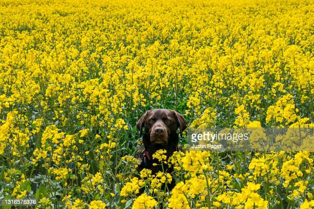 a chocolate labrador dog sits in an oilseed rape field - pets stock pictures, royalty-free photos & images
