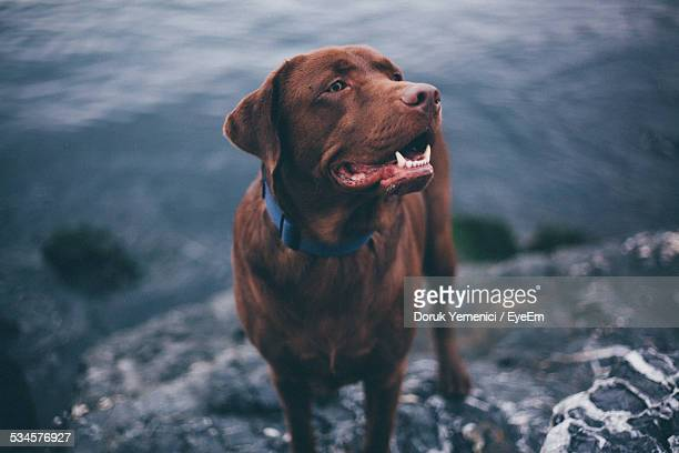 chocolate labrador dog standing on rock at lakeshore - chocolate labrador stock pictures, royalty-free photos & images