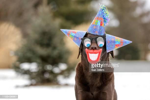 chocolate labrador dog wearing 3 birthday hats, funny glasses and big red lips - マゾフシェ県 ストックフォトと画像