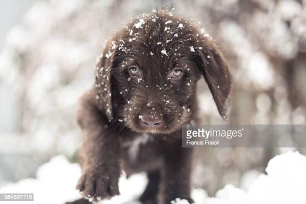 a chocolate labrador exploring snow in montreal, canada. - francis winter stock-fotos und bilder