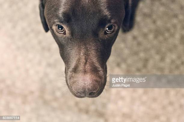 chocolate labrador head from above - chocolate labrador stock pictures, royalty-free photos & images