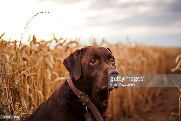 Chocolate Labrador in a Wheat field